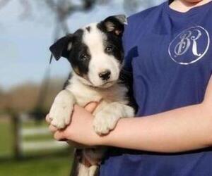 Border Collie Puppy for sale in ARLINGTON, WA, USA