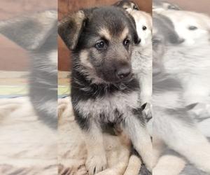 German Shepherd Dog Puppy for sale in PHOENIX, AZ, USA