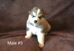 Male 3  AKC Alaskan Malamute pup