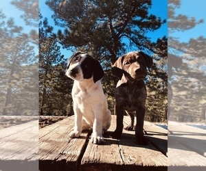 German Shorthaired Pointer Puppy for sale in FLORISSANT, CO, USA