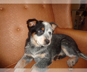 Australian Cattle Dog Puppy for Sale in PRIEST RIVER, Idaho USA