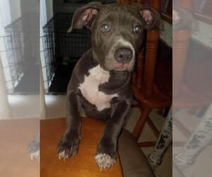American Bully Puppy for sale in DALE CITY, VA, USA