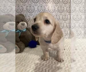 Dachshund Puppy for Sale in BUCHANAN, Georgia USA