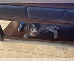 Small #1 German Wirehaired Pointer