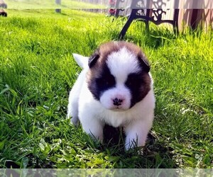 Akita Puppy for sale in GREEN BAY, WI, USA