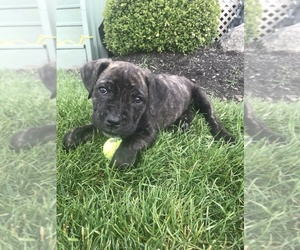 Cane Corso Puppy for sale in WESTFIELD, IN, USA
