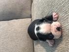 Boston Terrier Puppy For Sale in CHARLOTTESVILLE, Virginia,