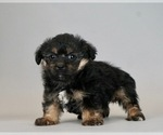 Puppy 4 Poodle (Toy)-Yorkshire Terrier Mix