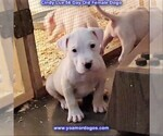 Small Photo #70 Dogo Argentino Puppy For Sale in PINEVILLE, MO, USA