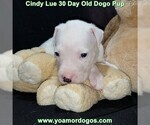 Small Photo #57 Dogo Argentino Puppy For Sale in PINEVILLE, MO, USA
