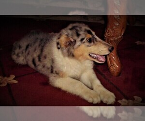 Collie Puppy for sale in CHARLOTTE, NC, USA