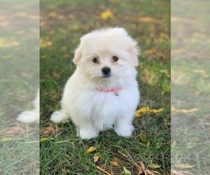 Maltipoo Puppy for Sale in LOS ANGELES, California USA