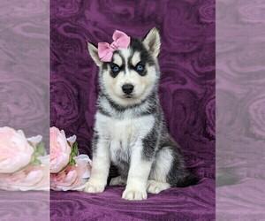 Siberian Husky Dog for Adoption in QUARRYVILLE, Pennsylvania USA