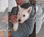 Small Photo #2 Scottish Terrier Puppy For Sale in WHITEWOOD, SD, USA