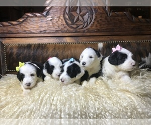 Sheepadoodle Puppy for sale in WINNSBORO, TX, USA