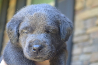 Labrador Retriever Puppy For Sale in WAKE FOREST, NC, USA