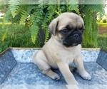 Puppy 6 Pug