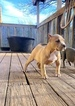 American Bully Puppy For Sale in ROUND ROCK, TX, USA