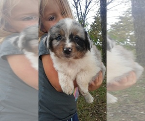 Miniature Australian Shepherd Puppy for sale in COUCH, MO, USA