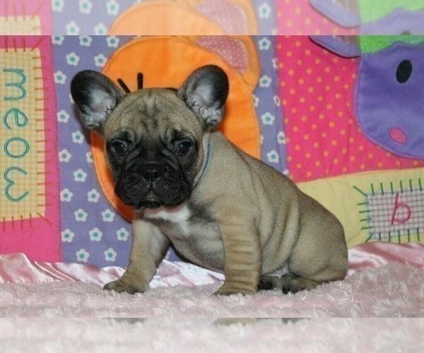 Medium Photo #3 French Bulldog Puppy For Sale in STATEN ISLAND, NY, USA
