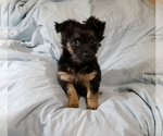 Small #4 Chorkie-Yorkshire Terrier Mix