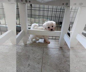 Poochon Puppy for sale in GEORGE WEST, TX, USA