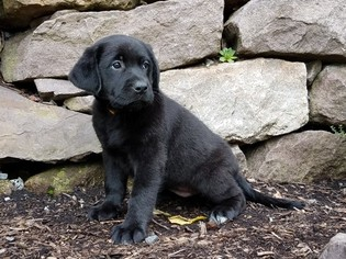 Labrador Retriever-Unknown Mix Puppy For Sale in READING, PA, USA