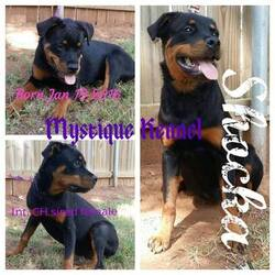 Rottweiler Puppy for sale in BLANCHARD, OK, USA