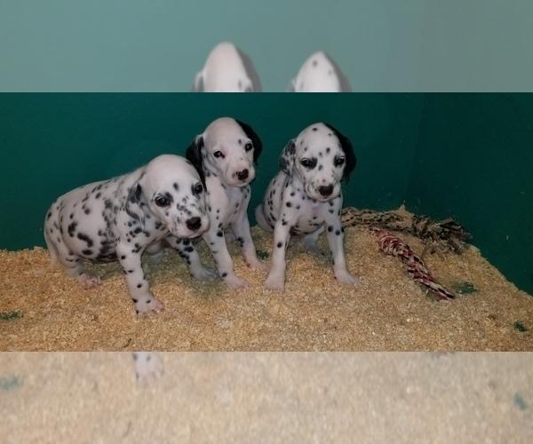 Medium Photo #5 Dalmatian Puppy For Sale in DUVALL, WA, USA