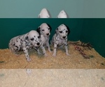 Small Photo #5 Dalmatian Puppy For Sale in DUVALL, WA, USA