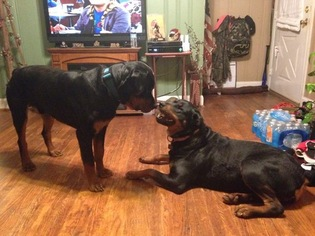 View Ad Rottweiler Litter Of Puppies For Sale Near Virginia