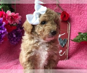 Poodle (Toy) Puppy for sale in CLAY, PA, USA