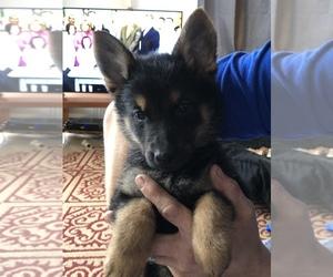 German Shepherd Dog Dog for Adoption in TORRINGTON, Connecticut USA