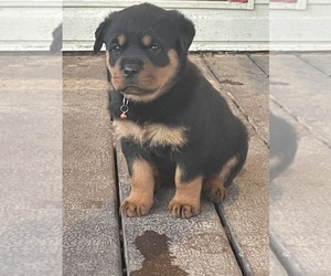 Rottweiler Puppy for Sale in MONTGOMERY, Texas USA
