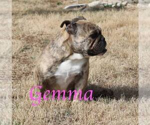 English Bulldog Puppy for sale in DERBY, KS, USA
