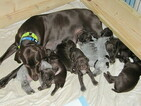 AKC Female Liver German Shorthaired Pointer Puppy