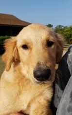 Golden Retriever Puppy for sale in TYLER, TX, USA