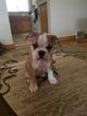 English Bulldog Puppy For Sale in CHESWICK, PA, USA