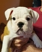 English Bulldogge Puppy For Sale in THOMPSONS STATION, TN,