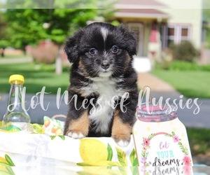 Miniature Australian Shepherd Puppy for Sale in THOUSAND OAKS, California USA