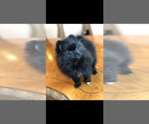 Pomeranian Puppy for sale in MILL VALLEY, CA, USA