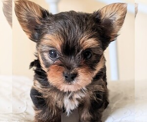 Yorkshire Terrier Puppy for sale in HOHENWALD, TN, USA