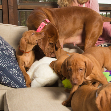 View Ad: Vizsla Puppy ...
