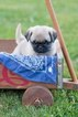 Pug Puppy For Sale in PLYMOUTH, OH, USA