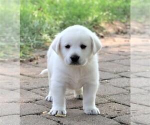 Labrador Retriever Puppy for sale in SYRACUSE, IN, USA