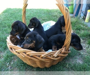 Dachshund Puppy for sale in RIDGECREST, CA, USA
