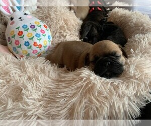 Frenchie Pug Puppy for Sale in KAPPA, Illinois USA