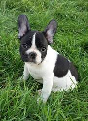 Walter Beautiful Male Frenchie Pup