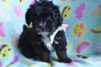 Poodle (Toy)-Yorkshire Terrier Mix Puppy For Sale in EAST EARL, Pennsylvania,