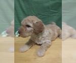 Small #5 Goldendoodle (Miniature)